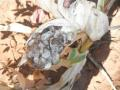 Deformed maize crop with enclosed sooty substance, a problem devastating some farmers
