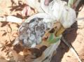 Maize crop affected by masses of sooty substance